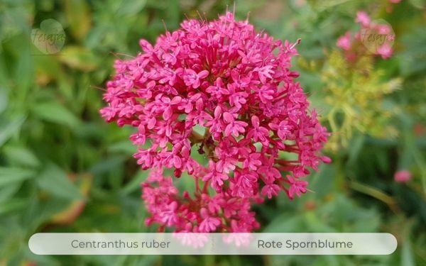 Rote Spornblume, Centranthus ruber