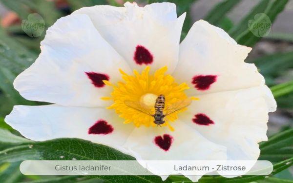 Ladanum Zistrose, Cistus ladanifer