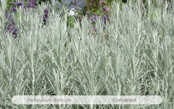 Currykraut, Helichrysum italicum