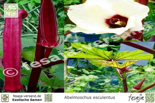 Okra, Abelmoschus esculentus burgundii