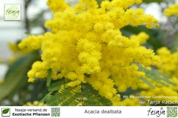 Silber-Akazie, Acacia dealbata, Pflanze