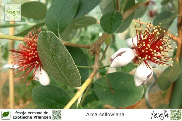 Brasilianische Guave, Acca sellowiana, Pflanze
