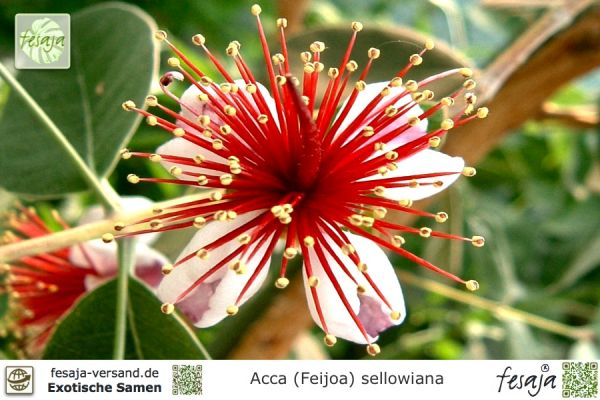 Brasilianische Guave, Feijoa, Acca sellowiana