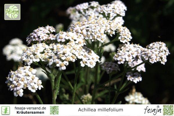Echte Schafgarbe, Achillea millefolium