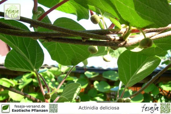 Kiwi Tomuri, Actinidia deliciosa, Pflanze