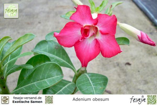 Wüstenrose, Adenium obesum