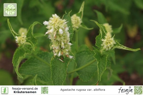 Weiße Koreanische Minze, Agastache rugosa albiflora