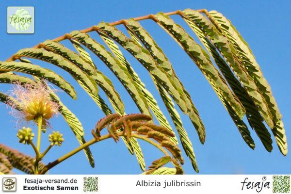 Seidenbaum, Schlafbaum, Albizia julibrissin
