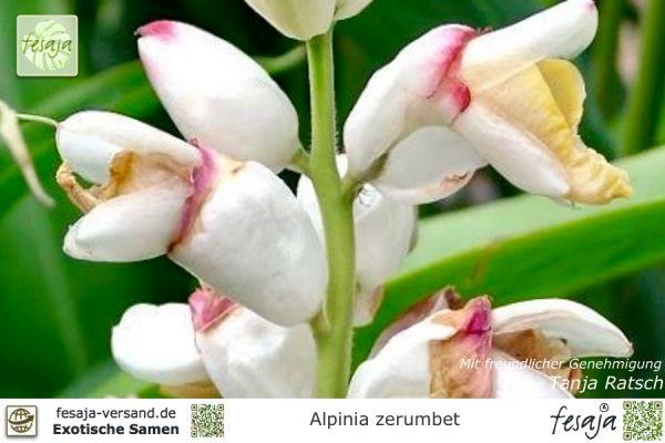Muschelingwer, Alpinia zerumbet