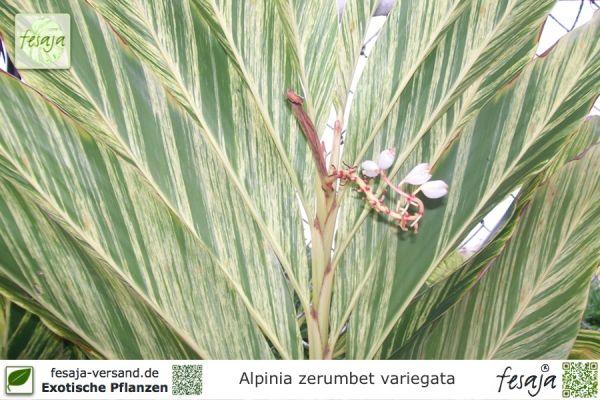 Buntlaubiger Muschelingwer, Alpinia zerumbet variegata, Pflanze