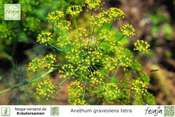Dill, Anethum graveolens