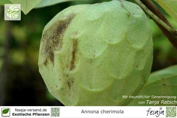 Cherimoya, Annona cherimola, Pflanze