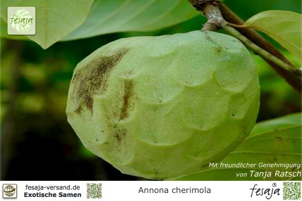 Cremefrucht, Annona cherimola