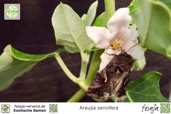 Folterpflanze, Araujia sericifera