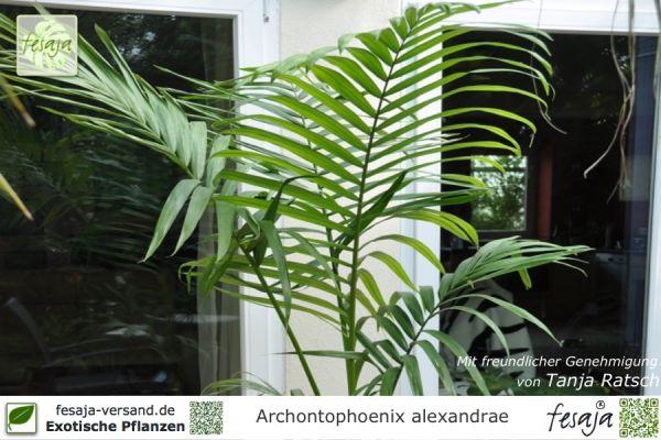 Alexandrapalme, Archontophoenix alexandrae, Pflanze