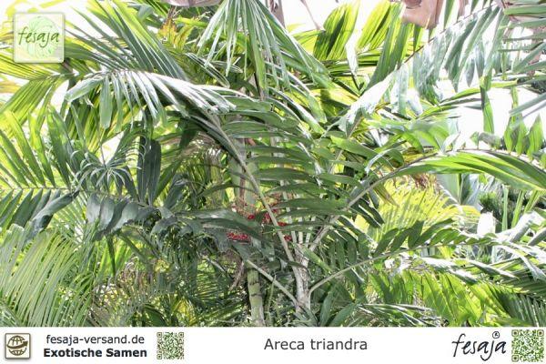 Triandra Palme, Areca triandra