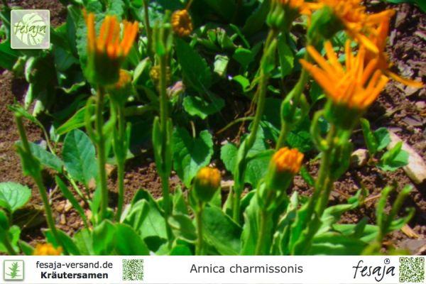 Wiesenarnika, Arnica chamissonis