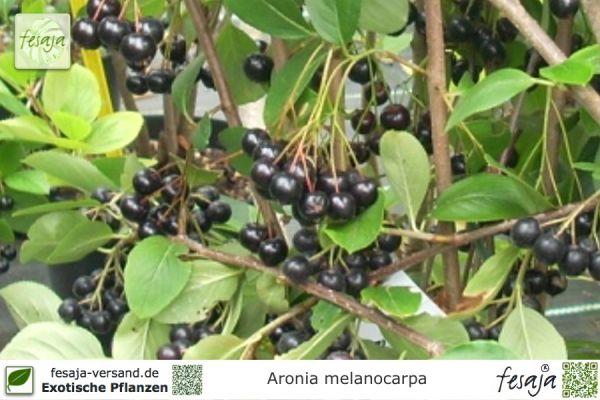 Schwarze Apfelbeere, Aronia melanocarpa, Pflanze