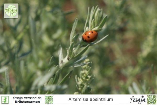 Wermut, Artemisia absinthium