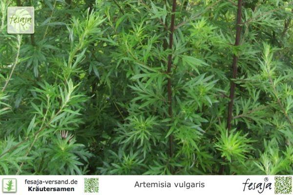 Beifuß, Artemisia vulgaris