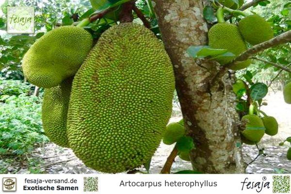 Jackfruchtbaum, Artocarpus heterophyllus