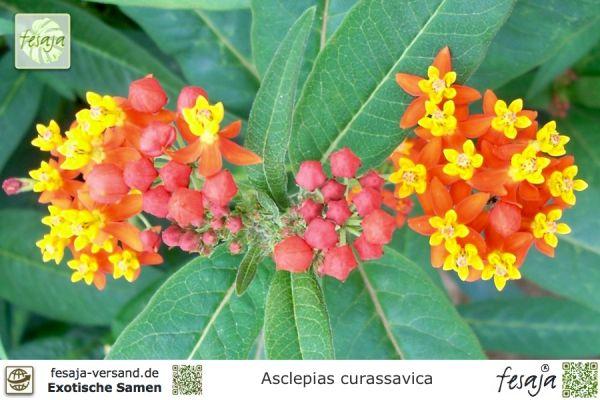 Indianer-Seidenpflanze, Asclepias curassavica