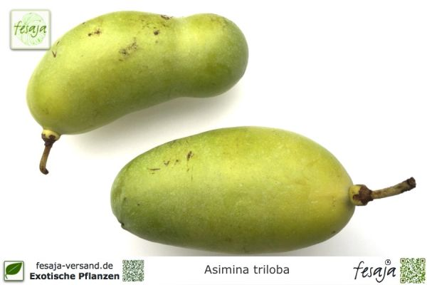 Indianerbanane Sämling, Asimina triloba, Pflanze