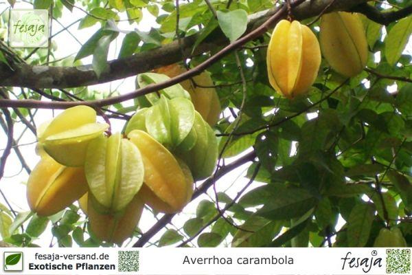 Sternfrucht, Karambole, Averrhoa carambola, Pflanze