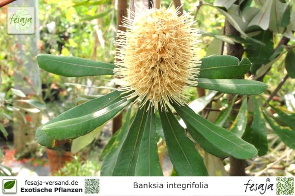 Küsten-Banksie, Banksia integrifolia, Pflanze