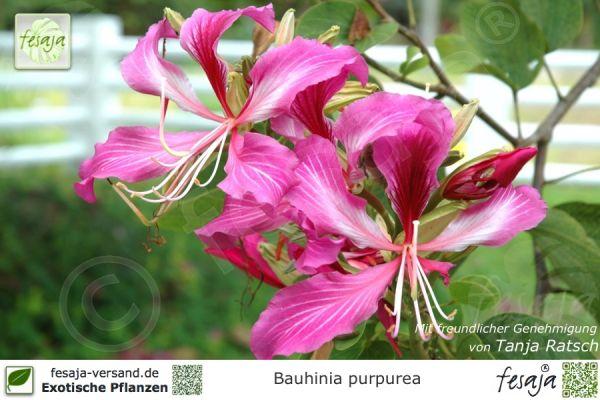 Orchideenbaum, Bauhinia purpurea, Pflanze