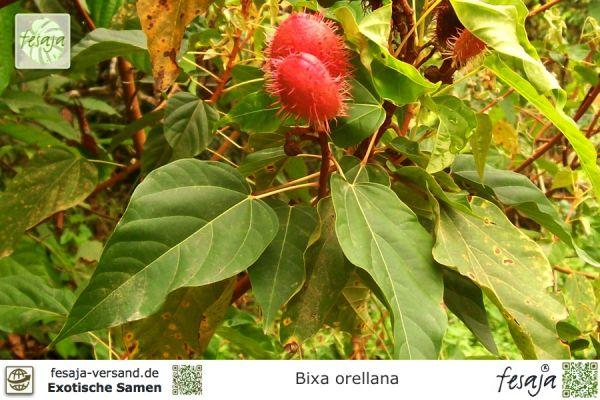 Lippenstift-Baum, Bixa orellana
