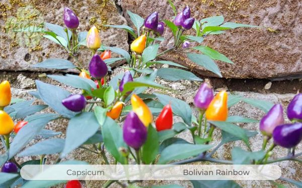 Bolivian Rainbow
