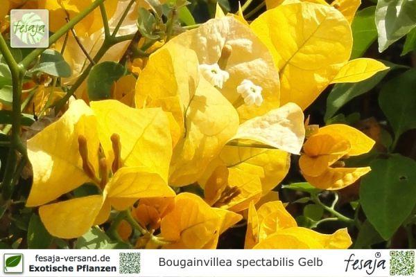 Drillingsblume, gelb blühend, Bougainvillea spectabilis, Pflanze