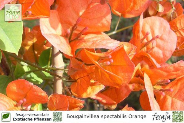 Drillingsblume, orange blühend, Bougainvillea spectabilis, Pflanze