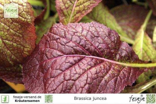 Blutrote Senfrauke, Brassica juncea