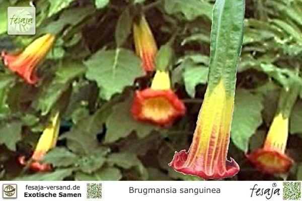 Engelstrompete gelb-rot blühend, Brugmansia sanguinea