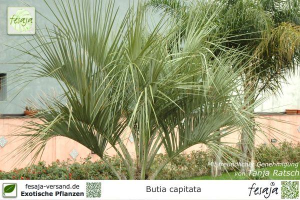 Geleepalme, Butia capitata, Pflanze