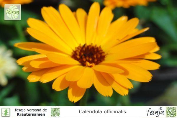 Ringelblume, Calendula officinalis