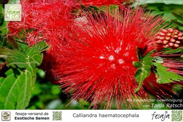 Roter Puderquastenstrauch, Calliandra haematocephala