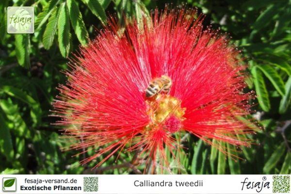 Brasilianischer Puderquastenstrauch, Calliandra tweedii, Pflanze
