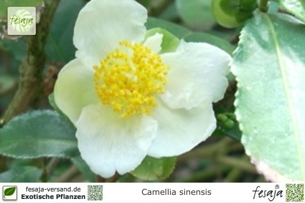 Echter Teestrauch, Camellia sinensis, Pflanze
