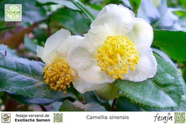 Echter Teestrauch, Camellia sinensis