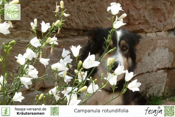 Schottische Glockenblume, Campanula rotundifolia