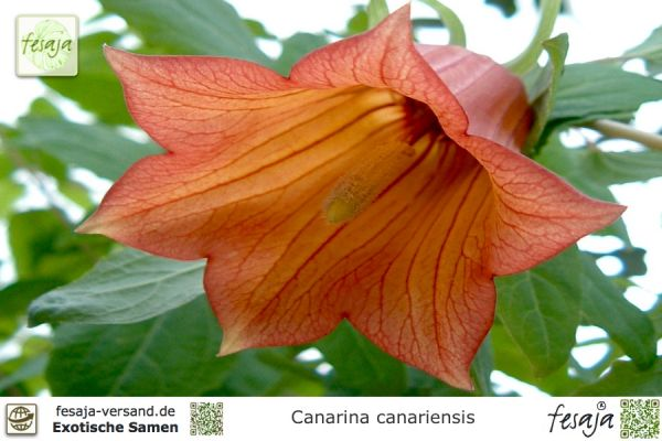 Kanaren-Glockenblume, Canarina canariensis