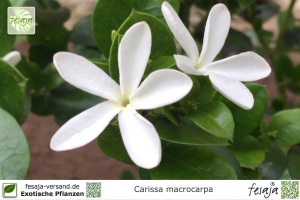 Natalpflaume, Carissa macrocarpa, Pflanze