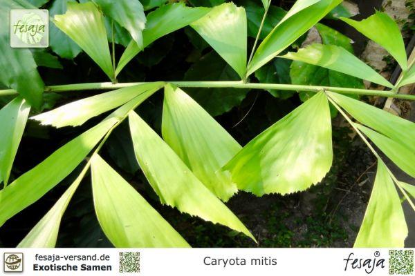 Fischschwanz-Palme, Caryota mitis