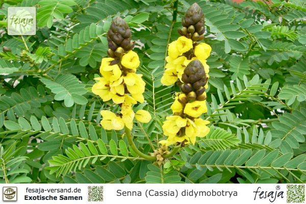 Indische Gewürzrinde, Cassia didymobotrya