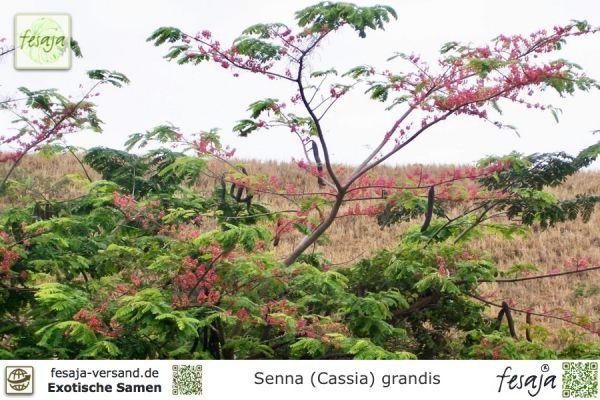 Pink-Kassie, Senna grandis