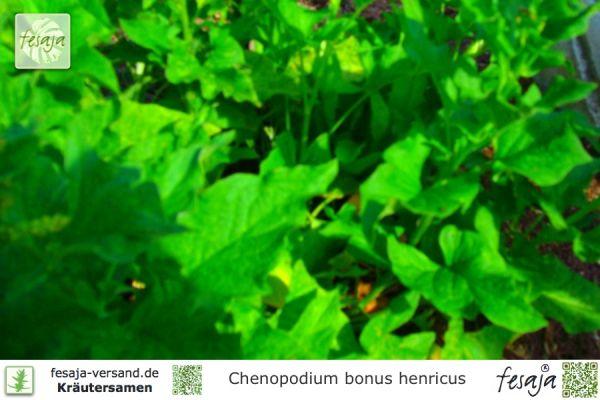 Guter Heinrich, Chenopodium bonus henricus
