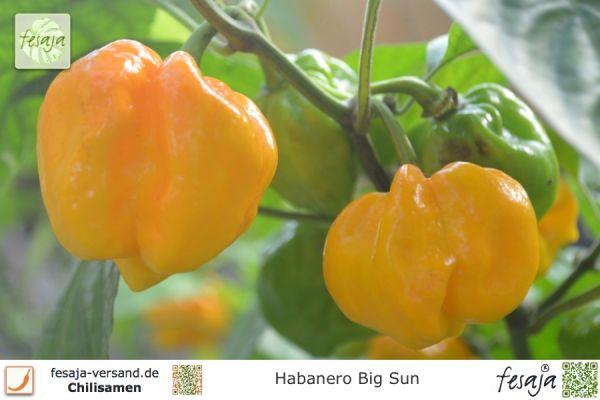 Habanero Big Sun